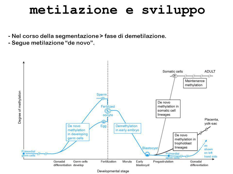 metilazione e sviluppo - Nel corso della segmentazione > fase di demetilazione. - Segue metilazione de novo.