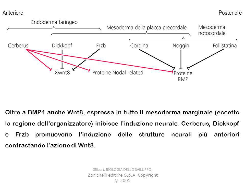 Gilbert, BIOLOGIA DELLO SVILUPPO, Zanichelli editore S.p.A. Copyright © 2005 Oltre a BMP4 anche Wnt8, espressa in tutto il mesoderma marginale (eccett