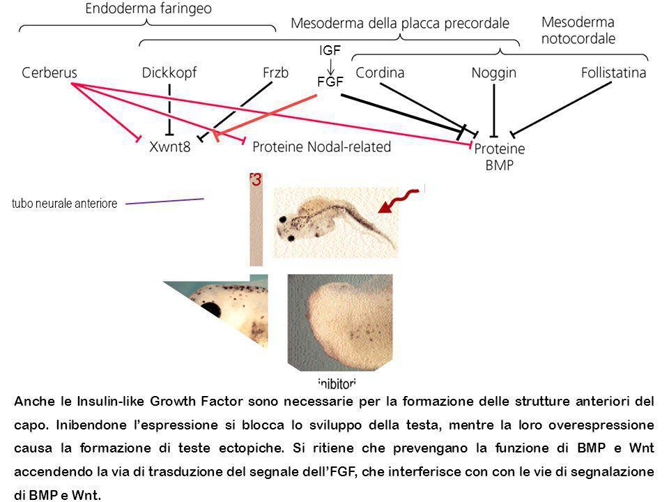 Anche le Insulin-like Growth Factor sono necessarie per la formazione delle strutture anteriori del capo. Inibendone lespressione si blocca lo svilupp