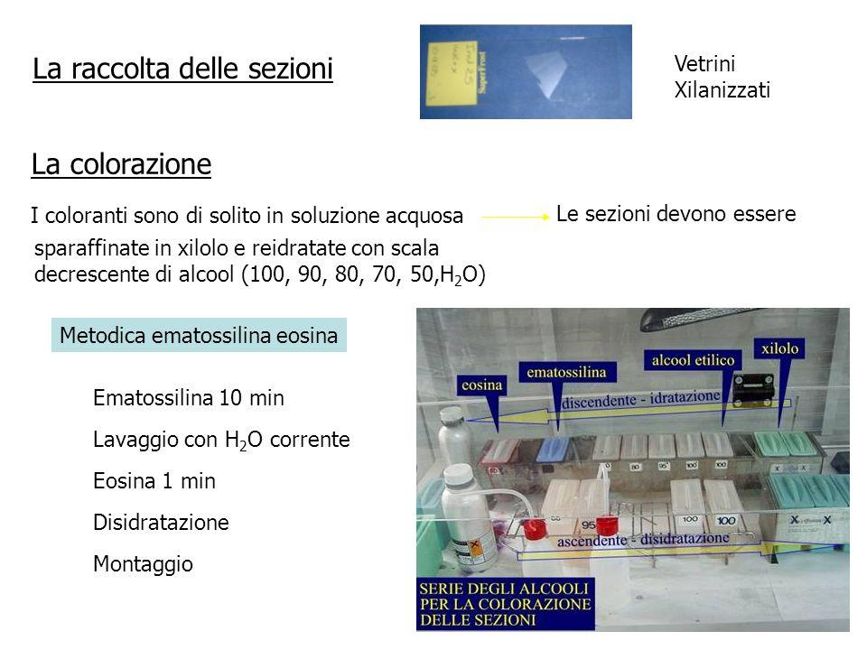La raccolta delle sezioni La colorazione I coloranti sono di solito in soluzione acquosa Le sezioni devono essere sparaffinate in xilolo e reidratate