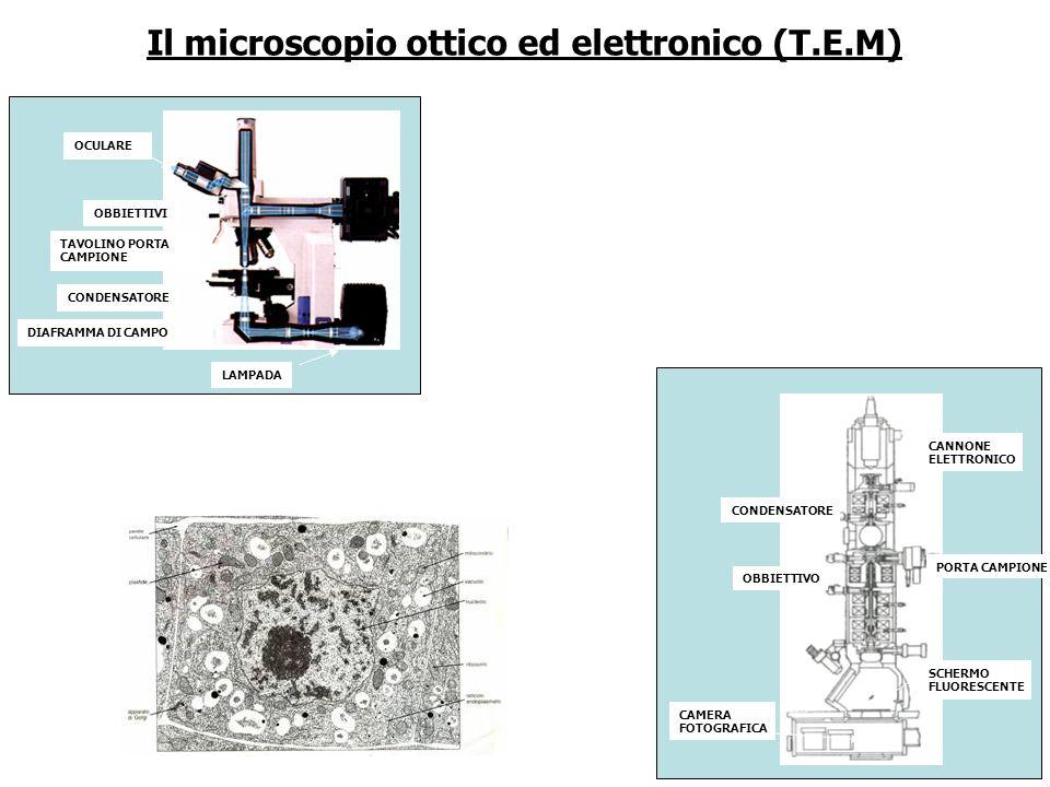 Il microscopio ottico ed elettronico (T.E.M) OCULARE OBBIETTIVI TAVOLINO PORTA CAMPIONE CONDENSATORE DIAFRAMMA DI CAMPO LAMPADA CANNONE ELETTRONICO PO