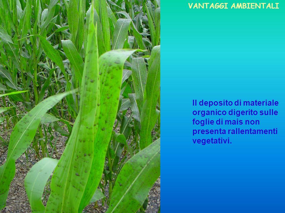 Il deposito di materiale organico digerito sulle foglie di mais non presenta rallentamenti vegetativi. VANTAGGI AMBIENTALI