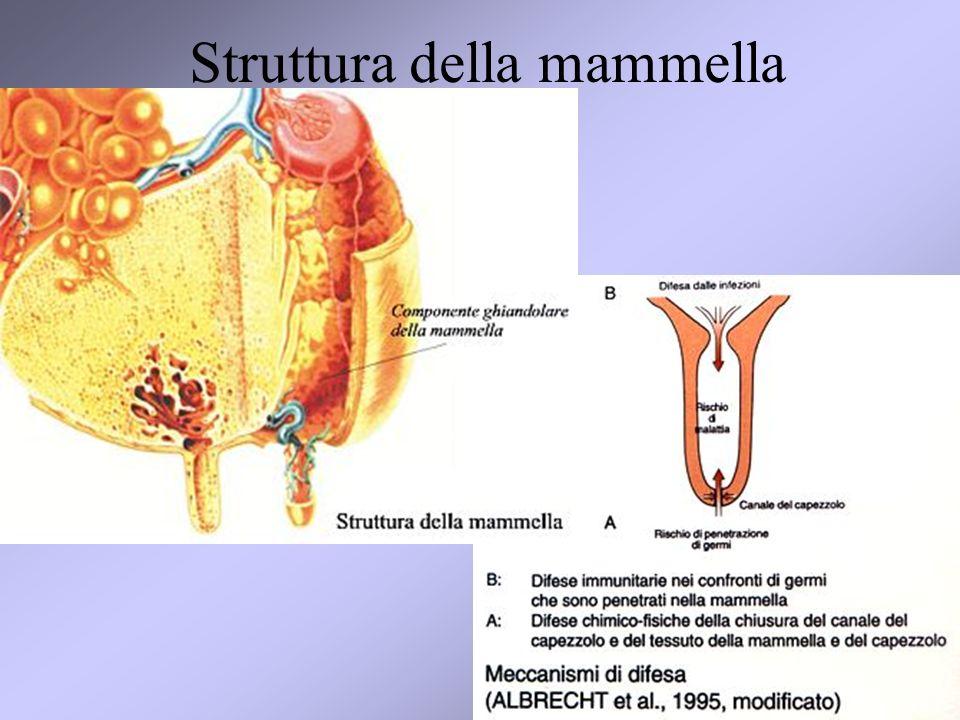 3 Struttura della mammella