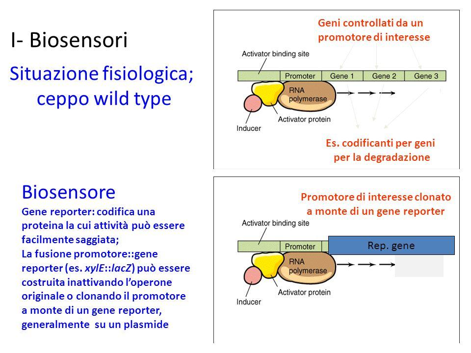 I- Biosensori Geni controllati da un promotore di interesse Situazione fisiologica; ceppo wild type Rep. gene Promotore di interesse clonato a monte d