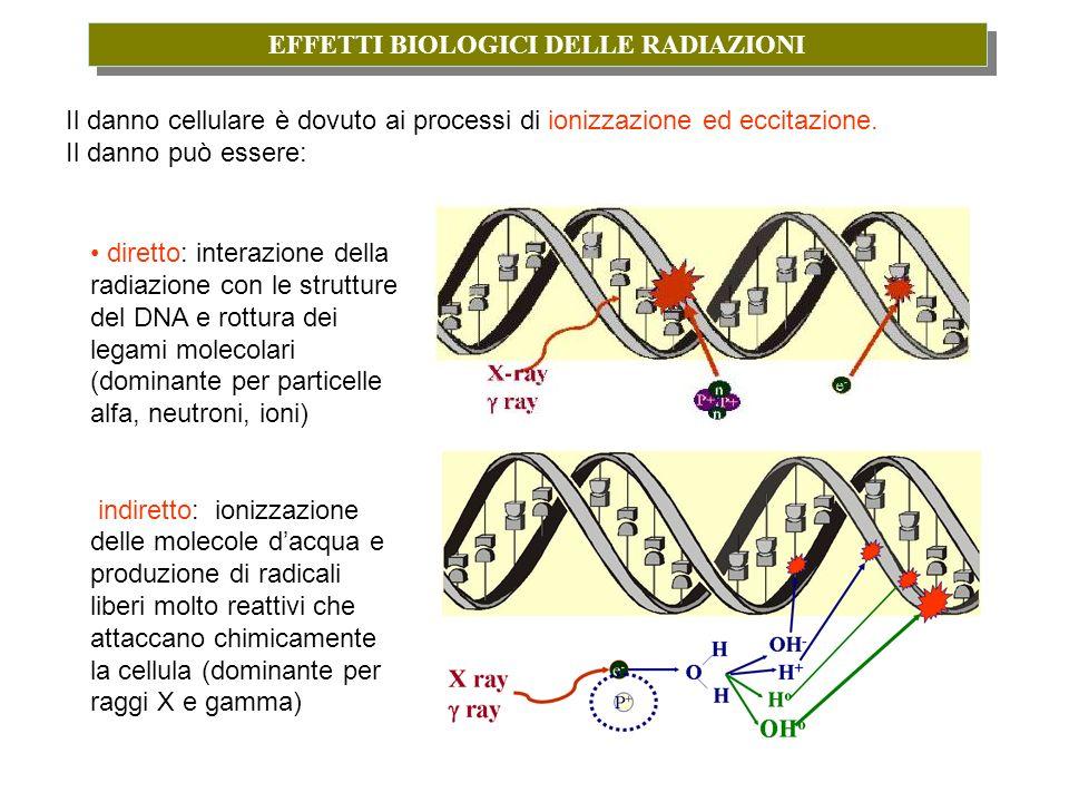 EFFETTI BIOLOGICI DELLE RADIAZIONI Il danno cellulare è dovuto ai processi di ionizzazione ed eccitazione. Il danno può essere: diretto: interazione d