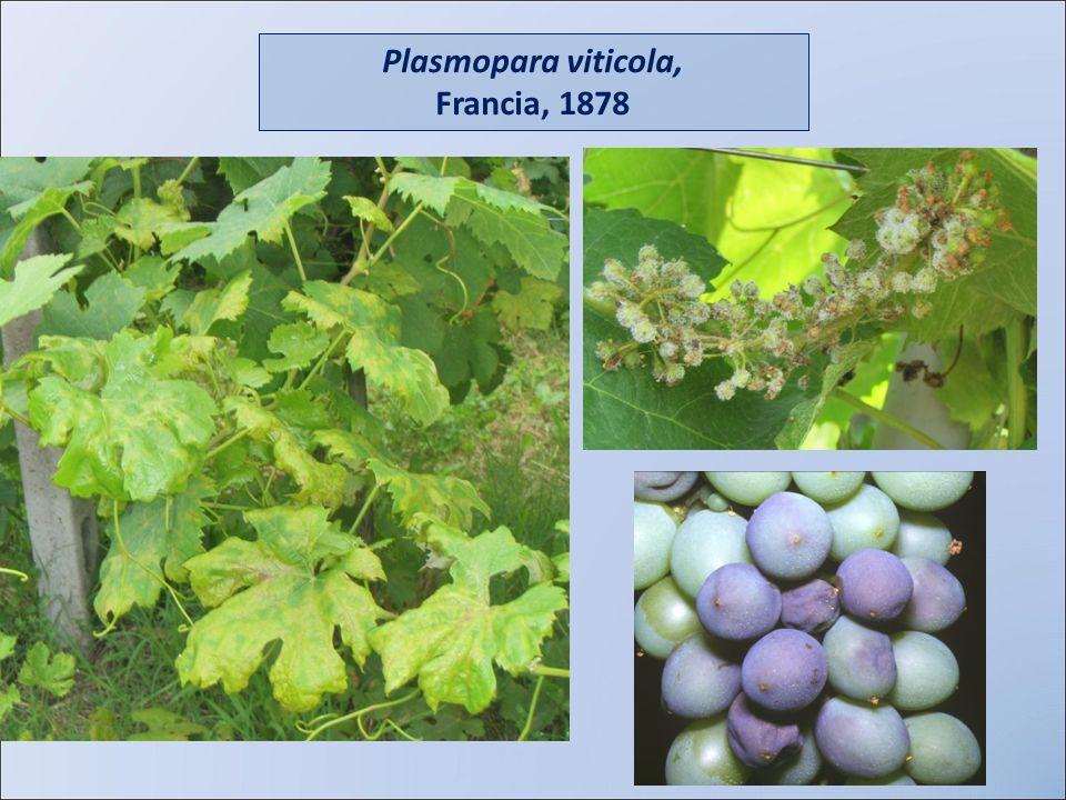 Plasmopara viticola, Francia, 1878