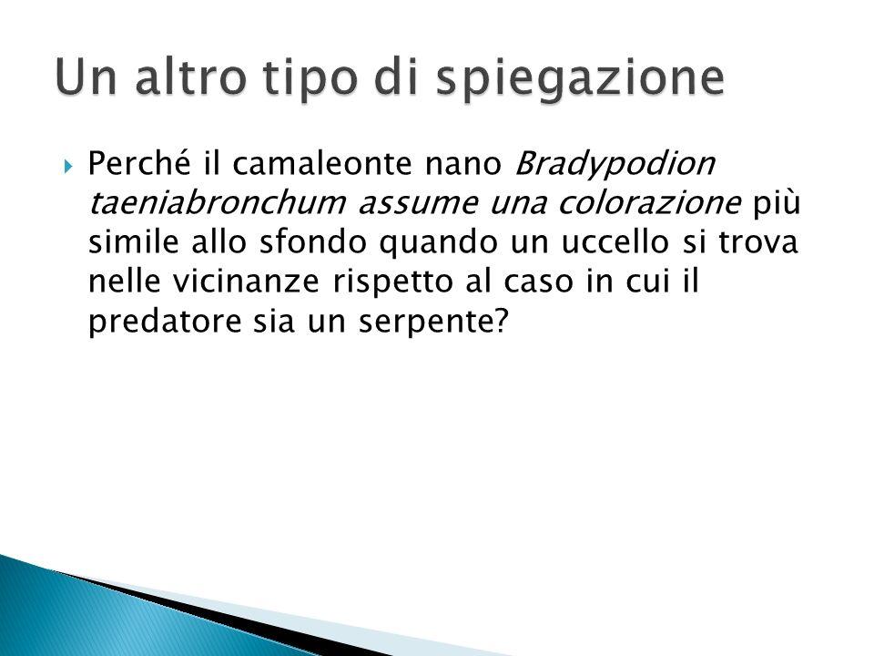 Perché il camaleonte nano Bradypodion taeniabronchum assume una colorazione più simile allo sfondo quando un uccello si trova nelle vicinanze rispetto