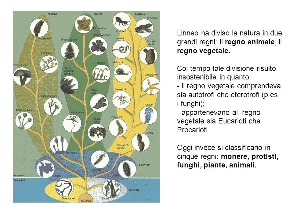 Linneo ha diviso la natura in due grandi regni: il regno animale, il regno vegetale. Col tempo tale divisione risultò insostenibile in quanto: - il re