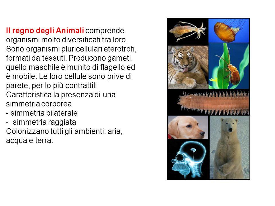 Il regno degli Animali comprende organismi molto diversificati tra loro. Sono organismi pluricellulari eterotrofi, formati da tessuti. Producono gamet