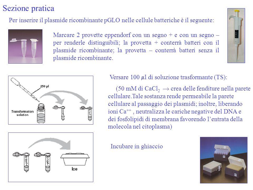 Sezione pratica Versare 100 l di soluzione trasformante (TS): (50 mM di CaCl 2 crea delle fenditure nella parete cellulare.Tale sostanza rende permeabile la parete cellulare al passaggio dei plasmidi; inoltre, liberando ioni Ca ++, neutralizza le cariche negative del DNA e dei fosfolipidi di membrana favorendo lentrata della molecola nel citoplasma) Per inserire il plasmide ricombinante pGLO nelle cellule batteriche è il seguente: Marcare 2 provette eppendorf con un segno + e con un segno – per renderle distinguibili; la provetta + conterrà batteri con il plasmide ricombinante; la provetta – conterrà batteri senza il plasmide ricombinante.