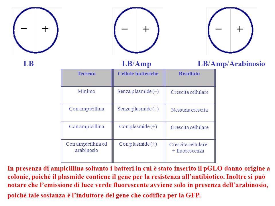 LBLB/AmpLB/Amp/Arabinosio TerrenoCellule battericheRisultato Minimo Senza plasmide ( ) Con ampicillina Senza plasmide ( ) Con ampicillinaCon plasmide (+) Con ampicillina ed arabinosio Con plasmide (+) In presenza di ampicillina soltanto i batteri in cui è stato inserito il pGLO danno origine a colonie, poiché il plasmide contiene il gene per la resistenza allantibiotico.