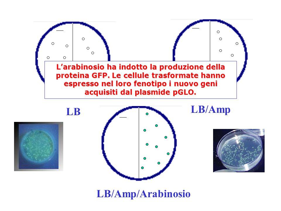 LB LB/Amp/Arabinosio LB/Amp Larabinosio ha indotto la produzione della proteina GFP.