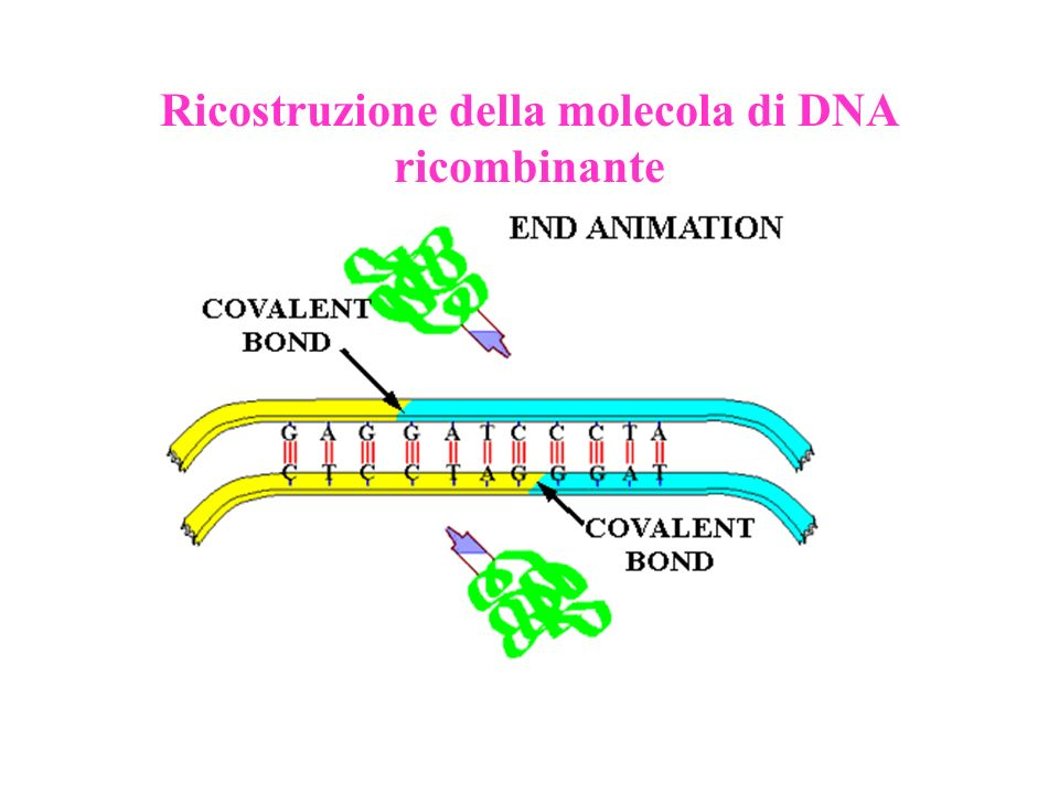 Plasmide Gene per la resistenza allampicillina: codifica per la -lactamasi, enzima che rende inattivo lantibiotico ampicillina, distruggendo lanello -lattamico delle molecole di tale sostanza Gene per il metabolismo dellarabinosio Gene per la sintesi della GFP: proteina che, esposta ai raggi UV, emette una luce verde fluorescente.