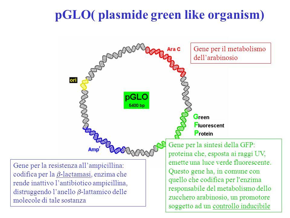 Struttura della GFP La GFP è una particolare proteina che, esposta ai raggi UV, emette una luce verde fluorescente.