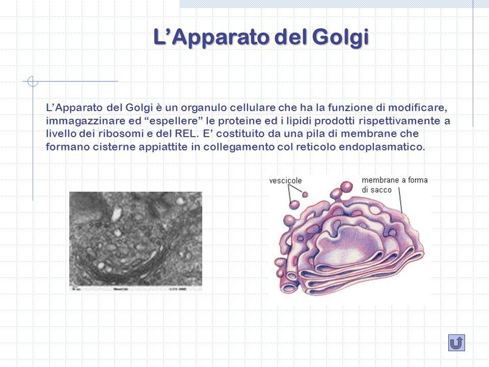 LApparato del Golgi LApparato del Golgi è un organulo cellulare che ha la funzione di modificare, immagazzinare ed espellere le proteine ed i lipidi p