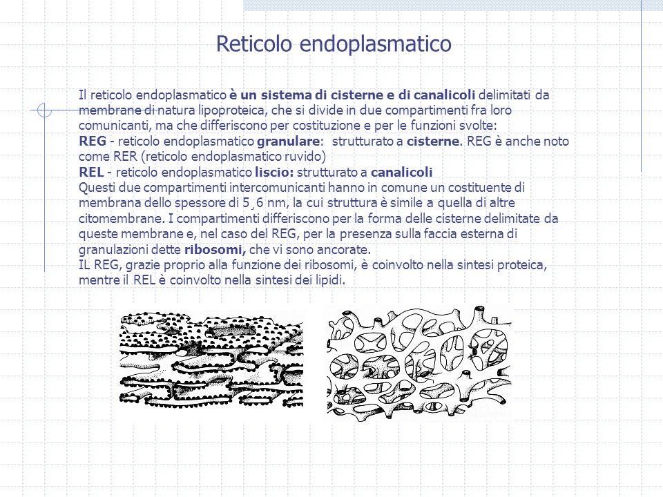 Il reticolo endoplasmatico è un sistema di cisterne e di canalicoli delimitati da membrane di natura lipoproteica, che si divide in due compartimenti