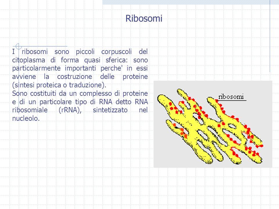 I ribosomi sono piccoli corpuscoli del citoplasma di forma quasi sferica: sono particolarmente importanti perche' in essi avviene la costruzione delle