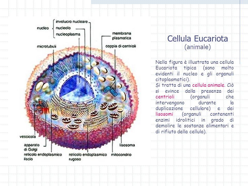 Cellula Eucariota (animale) Nella figura è illustrata una cellula Eucariota tipica (sono molto evidenti il nucleo e gli organuli citoplasmatici). Si t