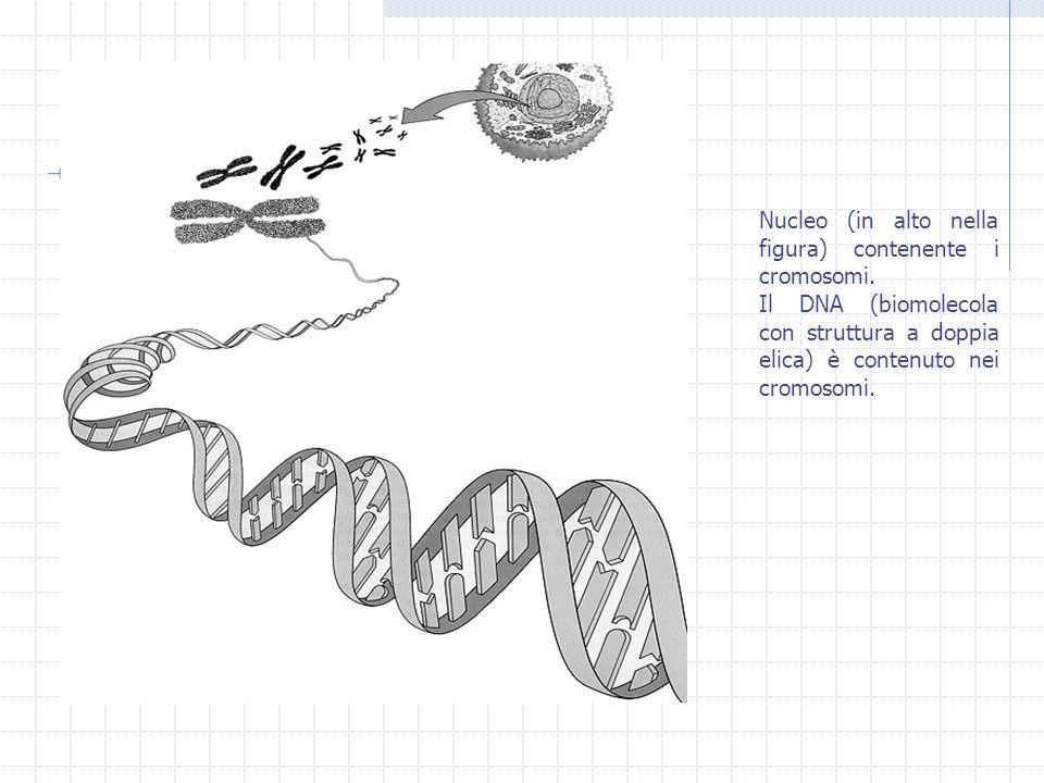 Nucleo (in alto nella figura) contenente i cromosomi. Il DNA (biomolecola con struttura a doppia elica) è contenuto nei cromosomi.