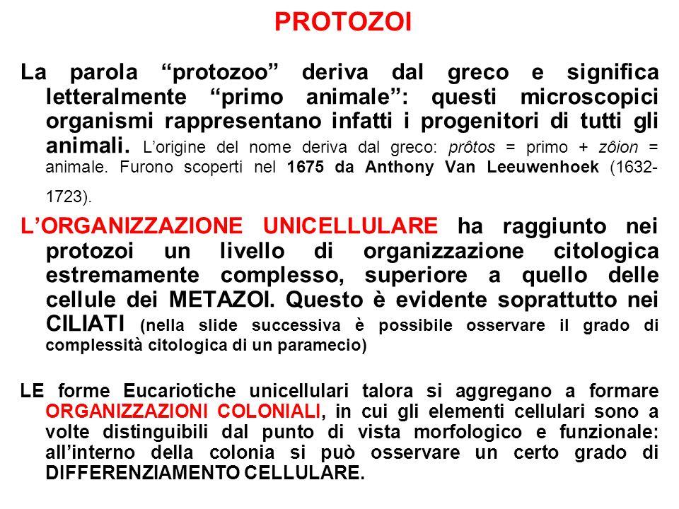 PROTOZOI La parola protozoo deriva dal greco e significa letteralmente primo animale: questi microscopici organismi rappresentano infatti i progenitor