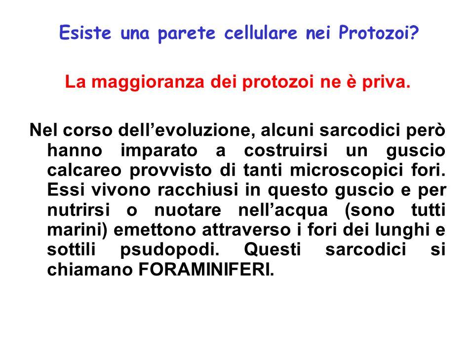 Esiste una parete cellulare nei Protozoi? La maggioranza dei protozoi ne è priva. Nel corso dellevoluzione, alcuni sarcodici però hanno imparato a cos