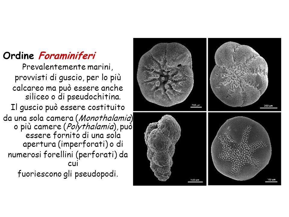 Ordine Foraminiferi Prevalentemente marini, provvisti di guscio, per lo più calcareo ma può essere anche siliceo o di pseudochitina. Il guscio può ess