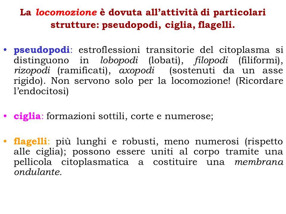 La locomozione è dovuta allattività di particolari strutture: pseudopodi, ciglia, flagelli. pseudopodi : estroflessioni transitorie del citoplasma si