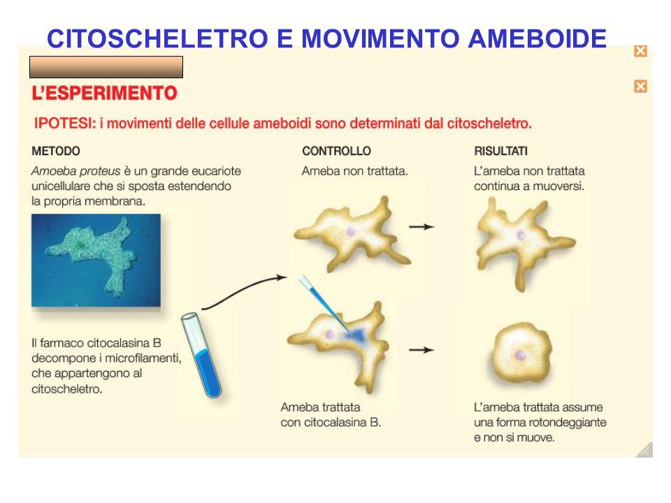 CITOSCHELETRO E MOVIMENTO AMEBOIDE