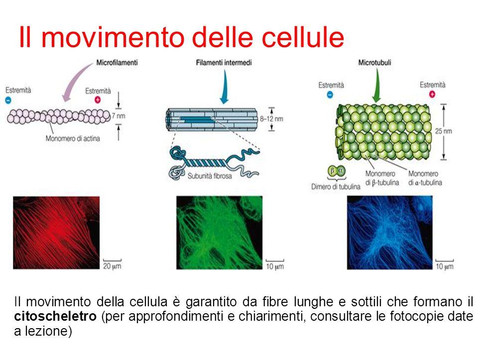 17 Il movimento delle cellule Sadava et al. Biologia La scienza della vita © Zanichelli editore 2010 Il movimento della cellula è garantito da fibre l