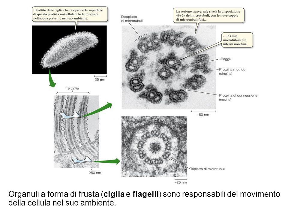 18 Sadava et al. Biologia La scienza della vita © Zanichelli editore 2010 Organuli a forma di frusta (ciglia e flagelli) sono responsabili del movimen