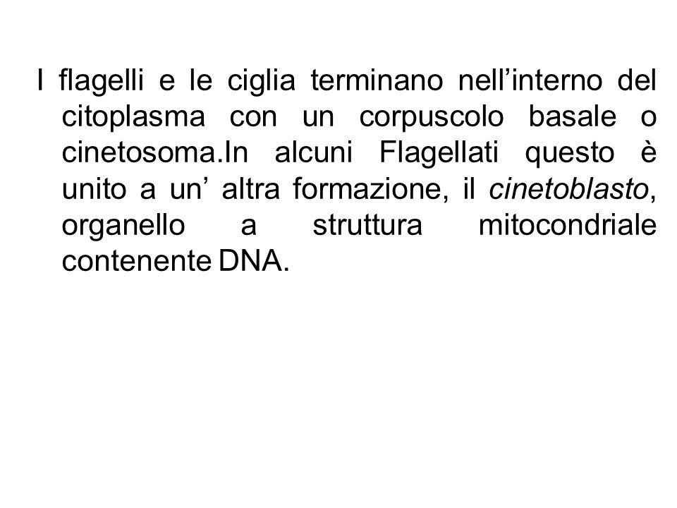 I flagelli e le ciglia terminano nellinterno del citoplasma con un corpuscolo basale o cinetosoma.In alcuni Flagellati questo è unito a un altra forma