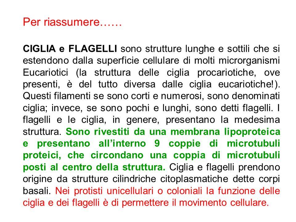 Per riassumere…… CIGLIA e FLAGELLI sono strutture lunghe e sottili che si estendono dalla superficie cellulare di molti microrganismi Eucariotici (la