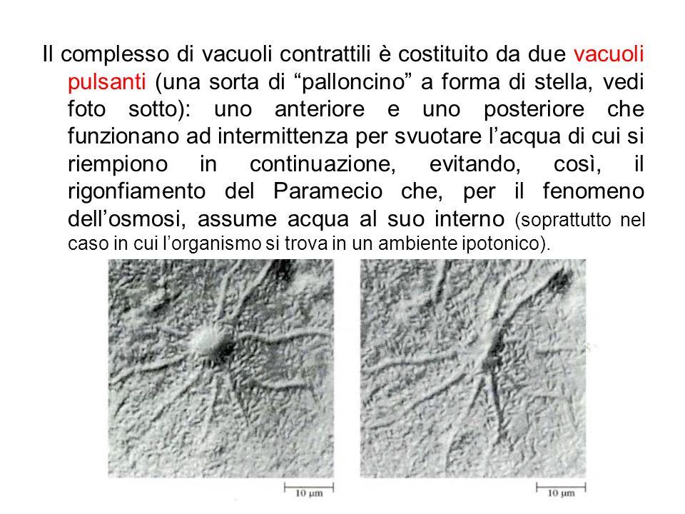 Il complesso di vacuoli contrattili è costituito da due vacuoli pulsanti (una sorta di palloncino a forma di stella, vedi foto sotto): uno anteriore e