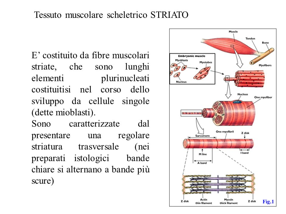 Preparato di muscolo scheletrico osservato al microscopio ottico; si vedono i nuclei cellulari e le striature caratteristiche