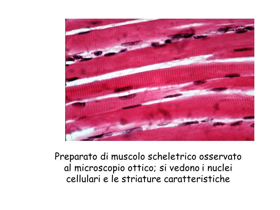 Sarcomero Linea Z Filamenti sottili (actina) Filamenti spessi (miosina) Banda chiara Banda scura Banda chiara Sarcomero TEM 26 000 Linea Z Banda chiara Banda chiara Banda scura Miofibrilla Nuclei Singola fibra muscolare (una cellula) Fascio di fibre muscolari Muscolo Le miofibrille sono formate da unità ripetute chiamate sarcomeri che rappresentano le unità funzionali fondamentali della fibra muscolare.