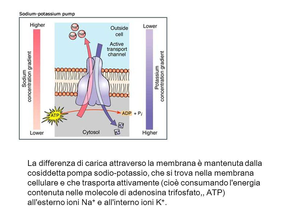 La differenza di carica attraverso la membrana è mantenuta dalla cosiddetta pompa sodio-potassio, che si trova nella membrana cellulare e che trasport