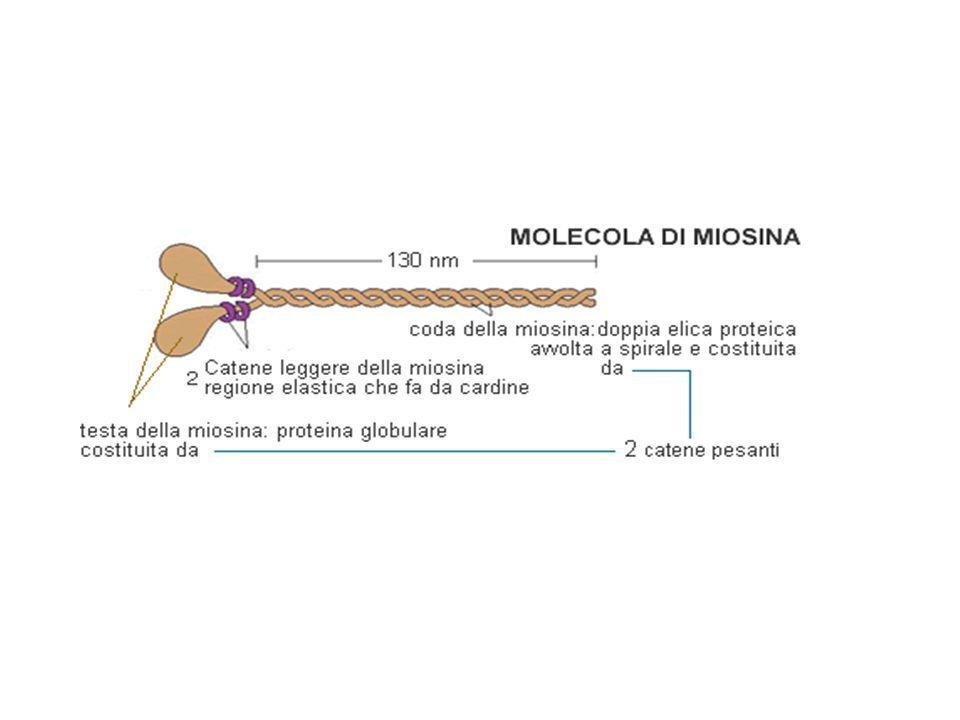 miosina