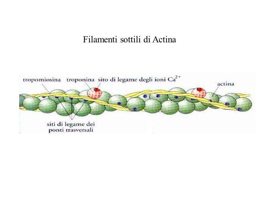 Filamenti sottili di Actina