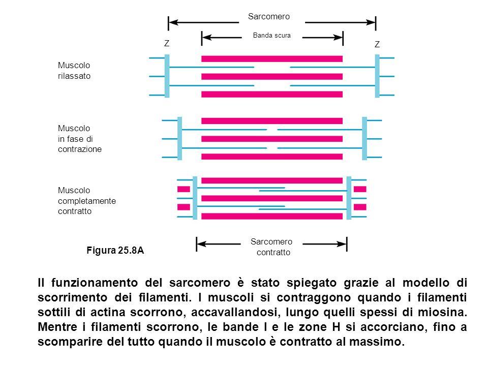 Filamento spesso (miosina) ATP Filamento sottile (actina) Testa della miosina Linea Z ADP P P ADP + P Nuova posizione della linea Z Perché avvenga la contrazione muscolare sono richiesti ATP e Ca2+ La testa della miosina si lega allATP e si stacca da un filamento di actina 1 La scissione dellATP «carica» la testa della miosina 2 La testa della miosina, grazie alla presenza di calcio, si attacca a un sito di legame dellactina 3 Il power stroke fa scorrere il filamento (sottile) di actina.