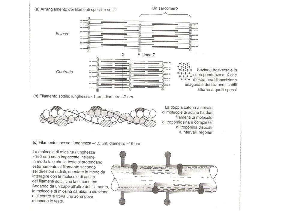 Per potersi contrarre, ogni fibra muscolare scheletrica deve essere stimolata da un impulso elettrico, detto potenziale di azione emesso dal relativo neurone motorio o motoneurone.