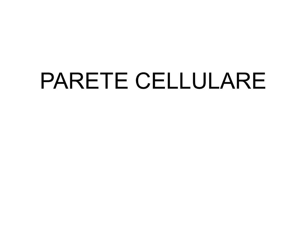 Composizione del peptidoglicano (o mureina) E una macromolecola sintetizzata soltanto dai procarioti.