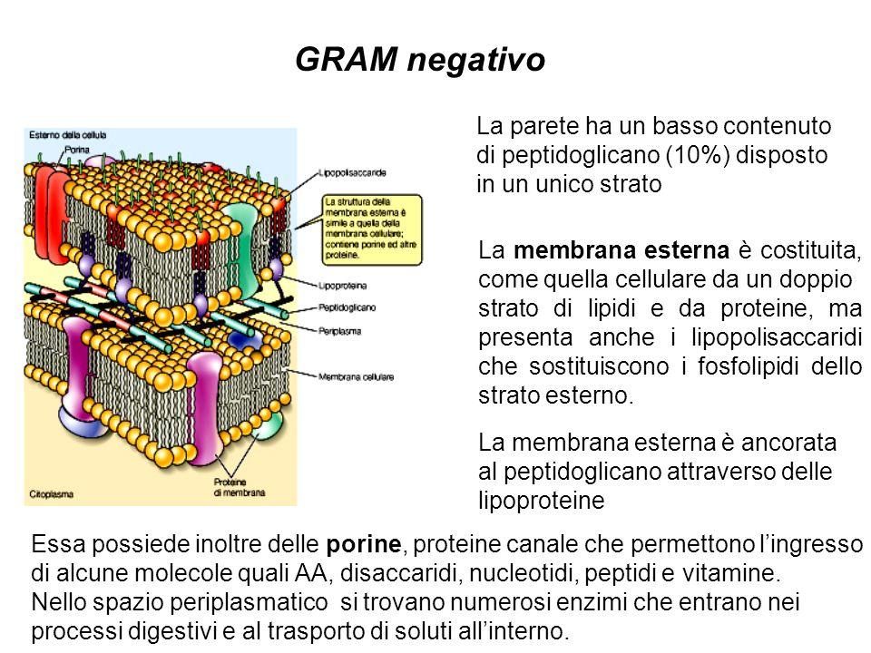 GRAM negativo La parete ha un basso contenuto di peptidoglicano (10%) disposto in un unico strato La membrana esterna è costituita, come quella cellul