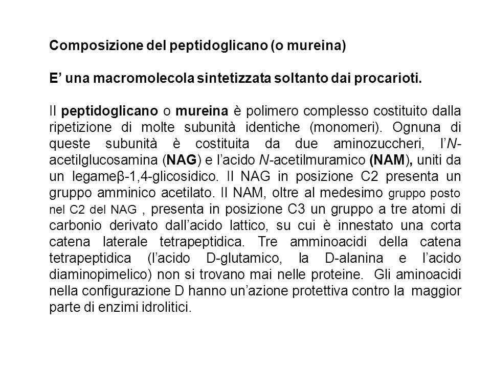 Composizione del peptidoglicano (o mureina) E una macromolecola sintetizzata soltanto dai procarioti. Il peptidoglicano o mureina è polimero complesso