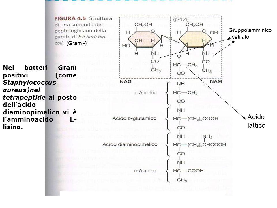 Nei batteri Gram positivi (come Staphylococcus aureus)nel tetrapeptide al posto dellacido diaminopimelico vi è lamminoacido L- lisina. (Gram -) Gruppo
