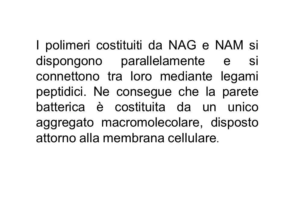 I polimeri costituiti da NAG e NAM si dispongono parallelamente e si connettono tra loro mediante legami peptidici. Ne consegue che la parete batteric