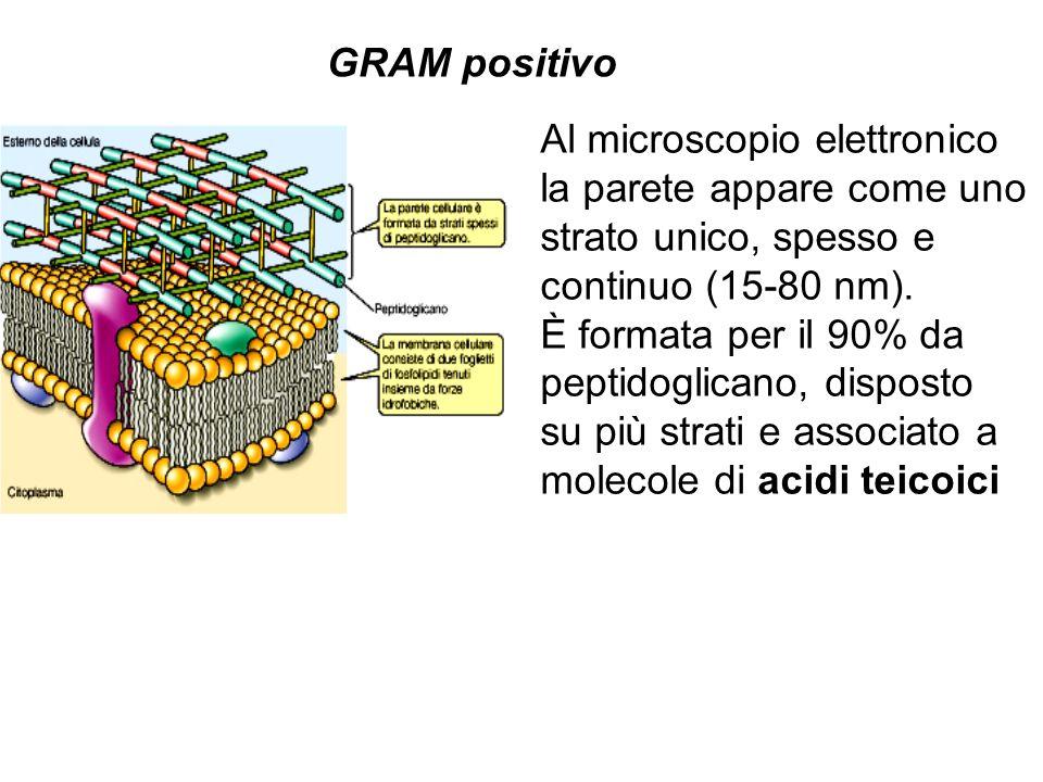 GRAM positivo Al microscopio elettronico la parete appare come uno strato unico, spesso e continuo (15-80 nm). È formata per il 90% da peptidoglicano,