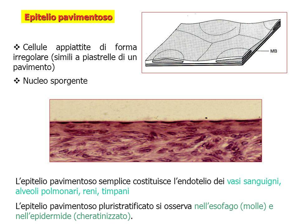Epitelio pavimentoso Cellule appiattite di forma irregolare (simili a piastrelle di un pavimento) Nucleo sporgente Lepitelio pavimentoso semplice cost
