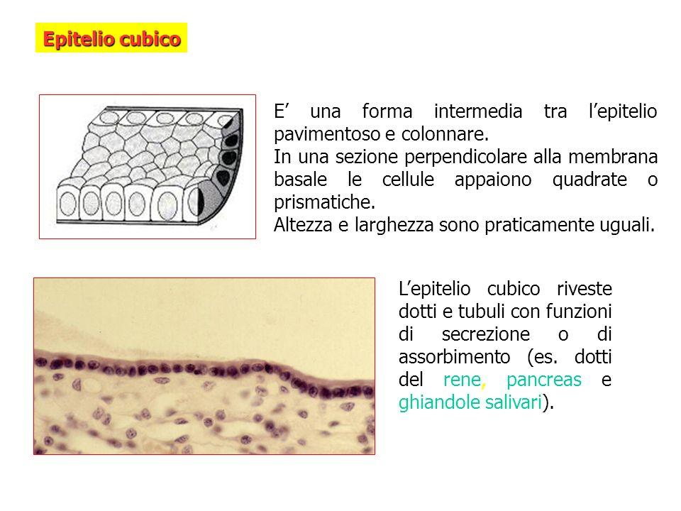 Epitelio cubico E una forma intermedia tra lepitelio pavimentoso e colonnare. In una sezione perpendicolare alla membrana basale le cellule appaiono q