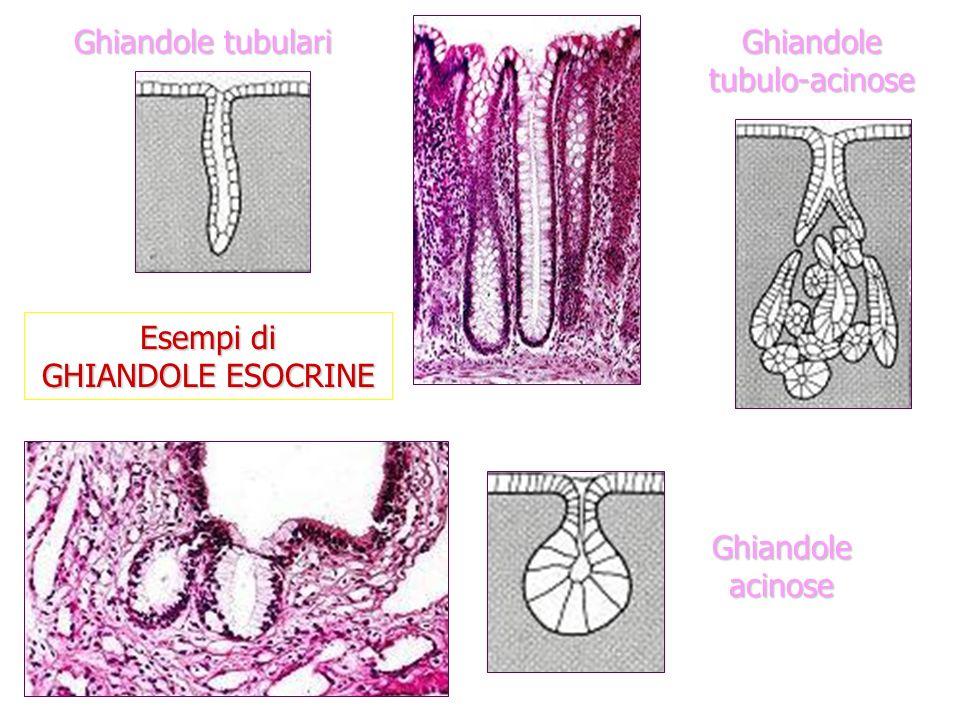 Esempi di GHIANDOLE ESOCRINE Ghiandole tubulari Ghiandole acinose Ghiandole tubulo-acinose