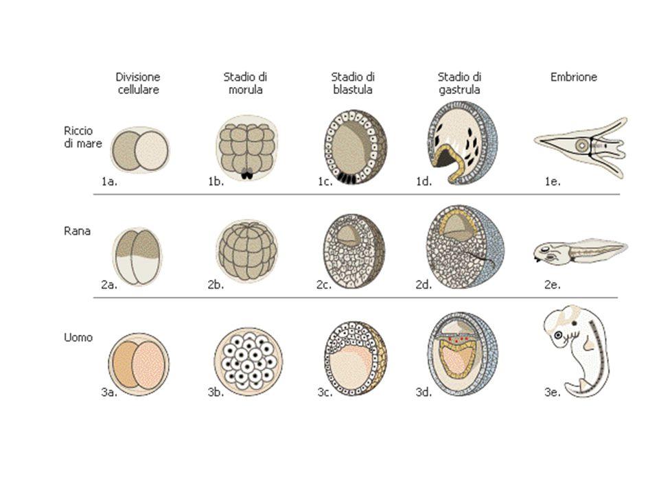 Uova oligolecitiche (mammif, riccio di mare): i blastomeri sono tutti uguali seg.
